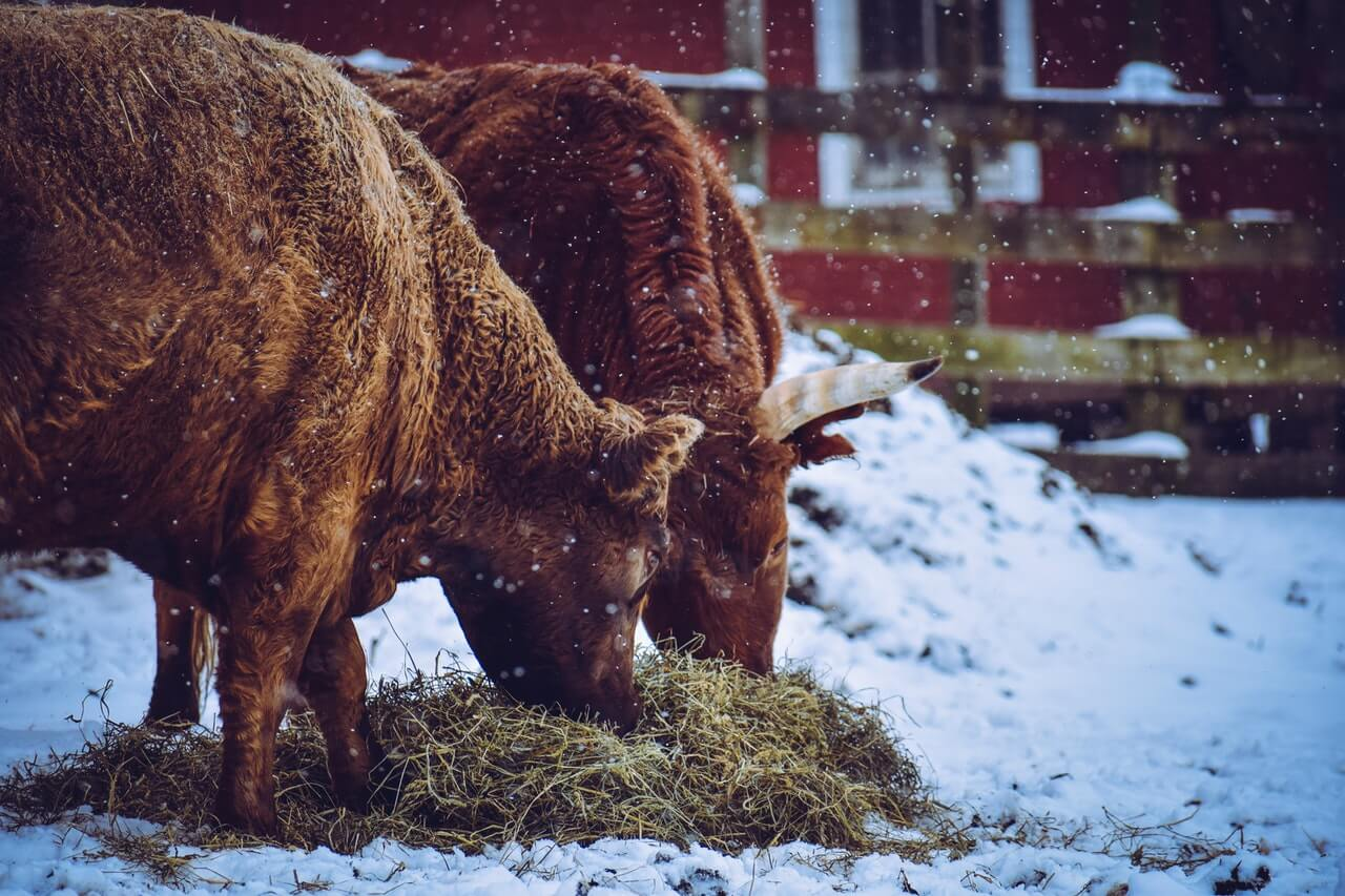 pexels-snow cow dairy